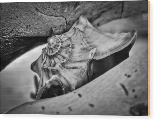 Conch Shell Two Wood Print