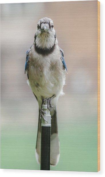 Contemplative Blue Jay Wood Print