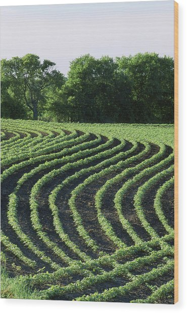 Contour Planted Field Of Young Soybeans (glycine Max). Wood Print by Inga Spence