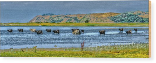 Cool Cows Wood Print by Kim Lessel