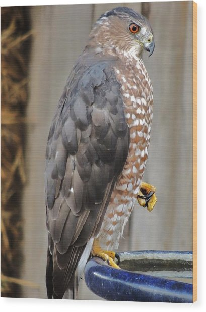 Coopers Hawk 2 Wood Print by Helen Carson