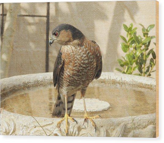 Cooper's Hawk At The Bird Bath Wood Print