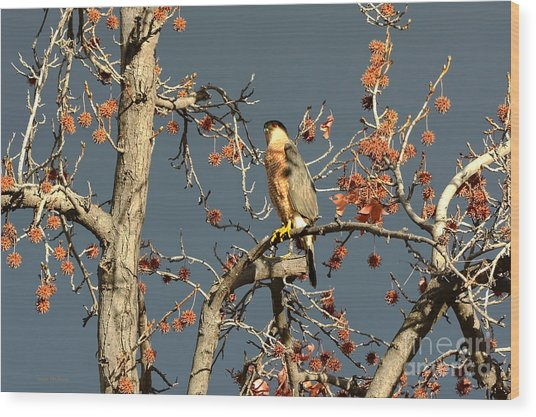 Cooper's Hawk Catches Sun In Stormy Sky Wood Print