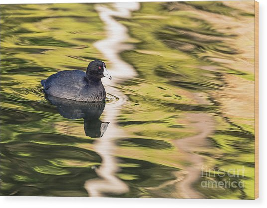 Coot Reflected Wood Print