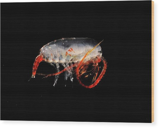 Copepod Crustacean Wood Print by British Antarctic Survey/science Photo Library