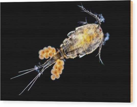 Copepode Wood Print by Gerd Guenther