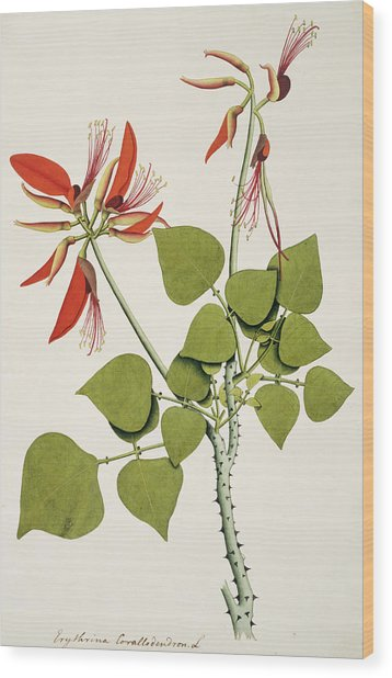 Coral Bean Tree Wood Print by Natural History Museum, London/science Photo Library