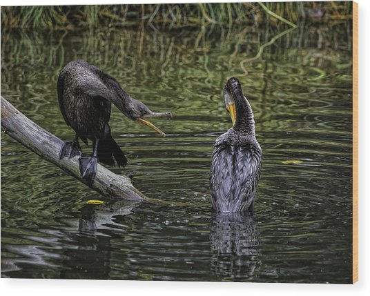 Cormorant Squabble Wood Print