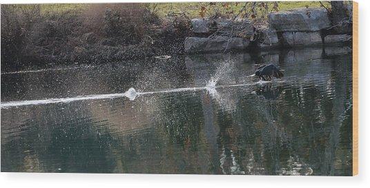Cormorant Take-off Wood Print