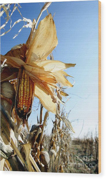 Corn And Husks In A Plantation Wood Print