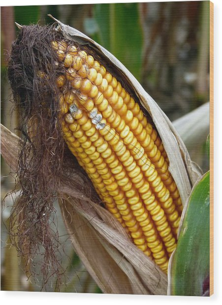 Wood Print featuring the photograph Corn Cob Dry by Jeff Lowe