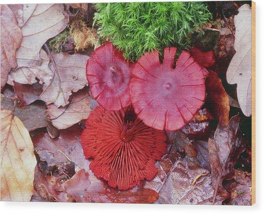Cortinarius Puniceus Wood Print