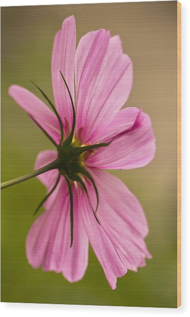 Cosmos In Pink Wood Print