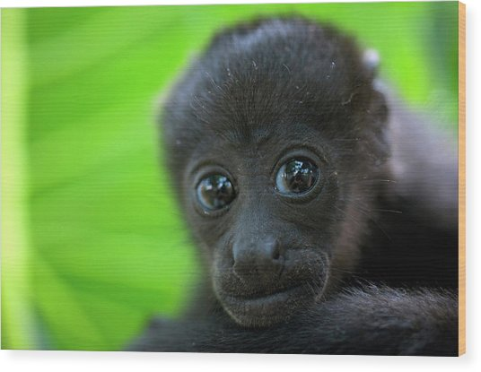 Costa Rica The Mantled Howler (alouatta Wood Print