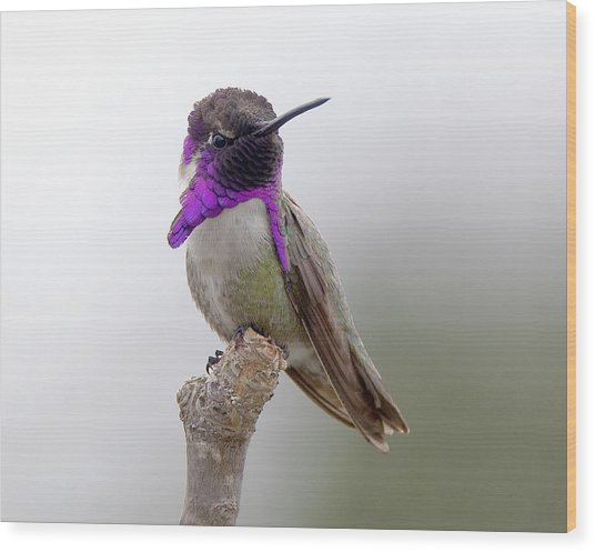 Costa's Hummingbird Wood Print