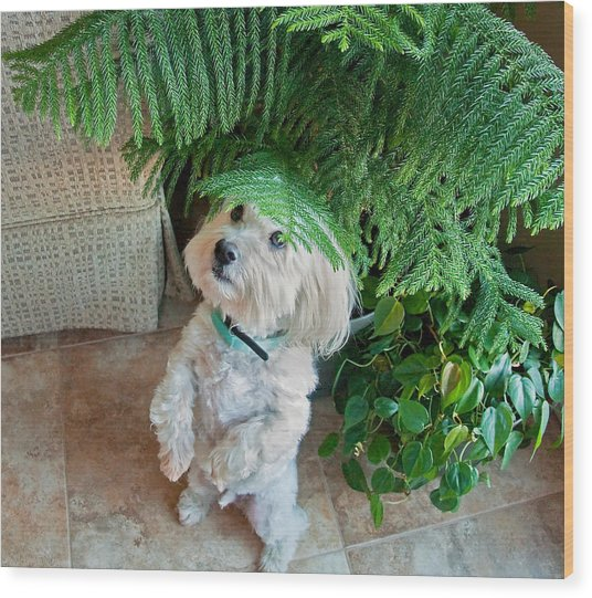 Coton De Tulear Dog Begging Wood Print