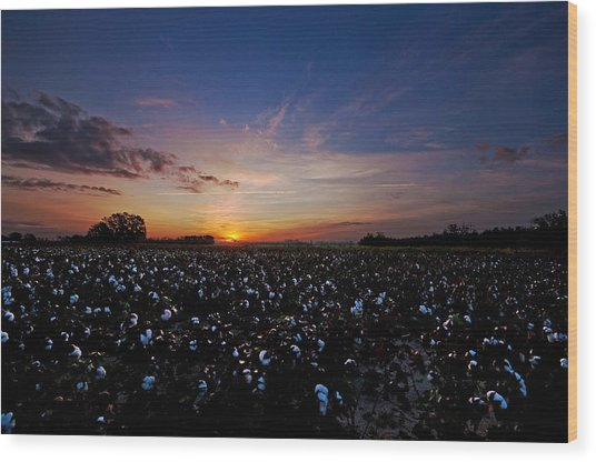 Cotton Field Sunrise Wood Print