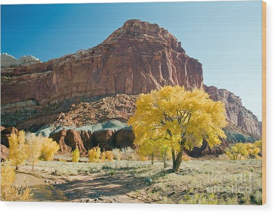 Cottonwoods In Fall The Castlecapitol Reef National Park Wood Print