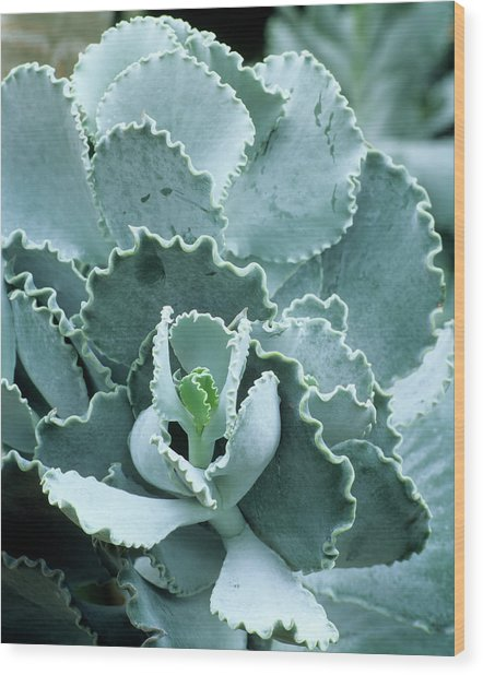 Cotyledon Undulata Foliage Wood Print by Andrew Cowin/science Photo Library