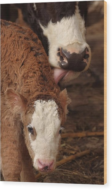 Cow And Calf Wood Print by Ioan Panaite