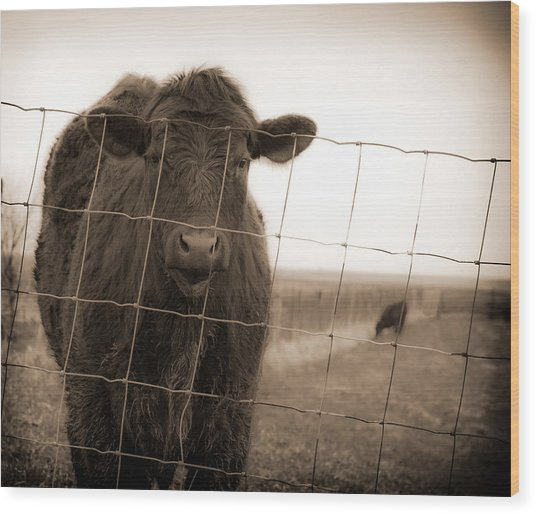 Cow At Fence In Sepia Wood Print