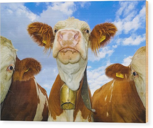 Cow Looking At You - Funny Animal Picture Wood Print