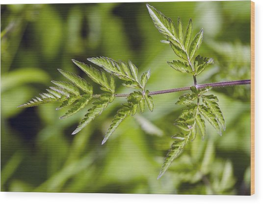 Cow Parsley (anthriscus Sylvestris) Wood Print by Science Photo Library