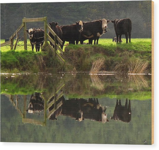Cow Reflections Wood Print