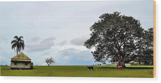 Cows And Shack - Australia Wood Print