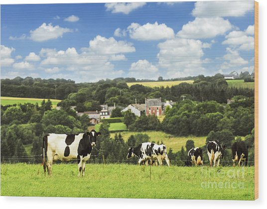 Cows In A Pasture In Brittany Wood Print