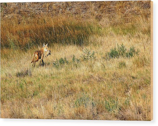 Coyote Catch Wood Print by Rebecca Adams