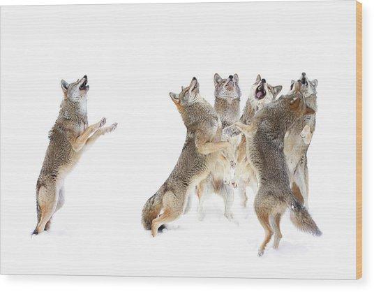 Coyote Choir Wood Print by Jim Cumming