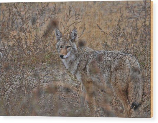 Coyote Wood Print