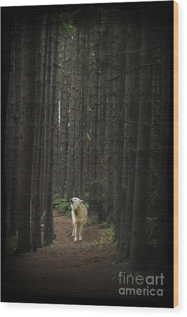 Coyote Howling In Woods Wood Print