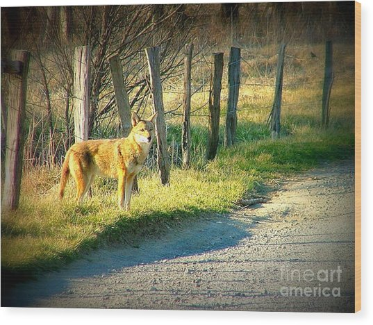 Coyote In Cades Cove Wood Print