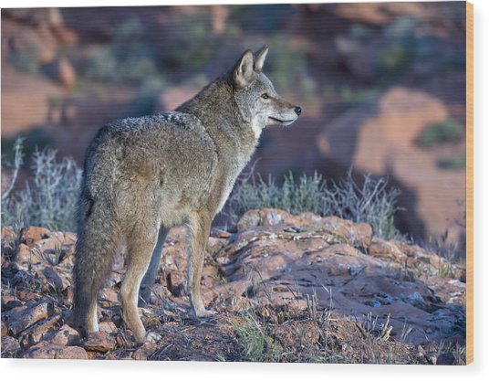 Coyote In The Southwest Us Wood Print by Kathleen Reeder Wildlife Photography