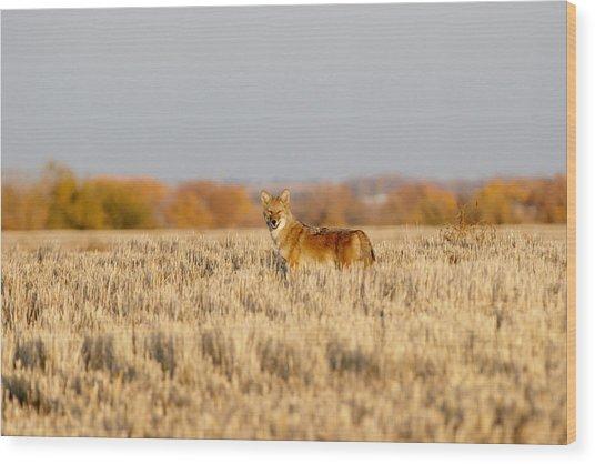 Coyote On The Hunt Wood Print
