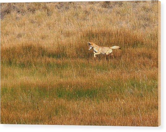 Coyote Pup Wood Print by Rebecca Adams