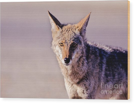 Coyote Stares Wood Print