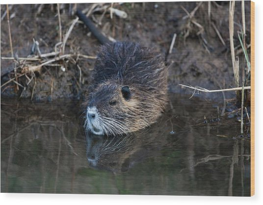 Coypu Wood Print by Photostock-israel