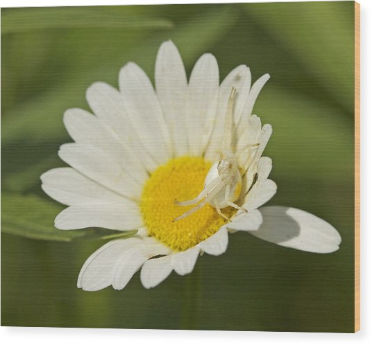 Crab Spider Wood Print by Brian Magnier