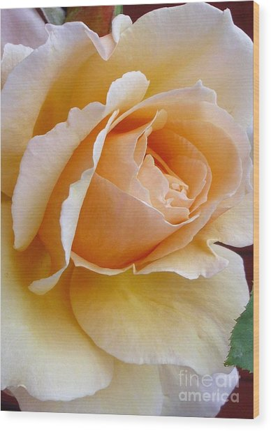 Creamy Pastel Orange Rose Wood Print