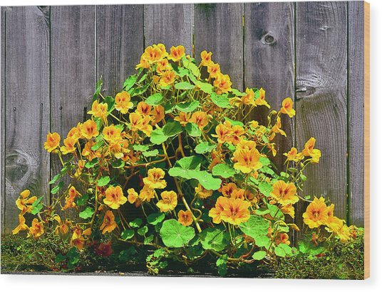 Creeping Hibiscus Wood Print