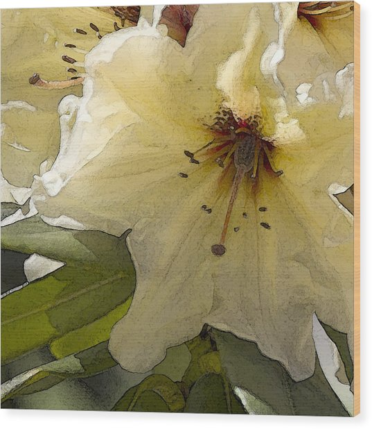 Creme Rhody Wood Print by Stephen Prestek