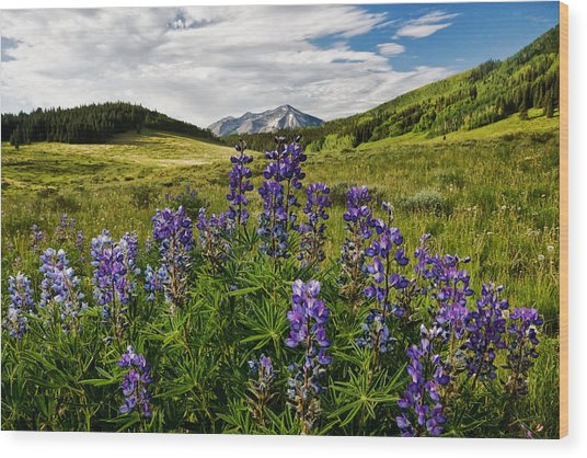 Crested Butte Lupines Wood Print