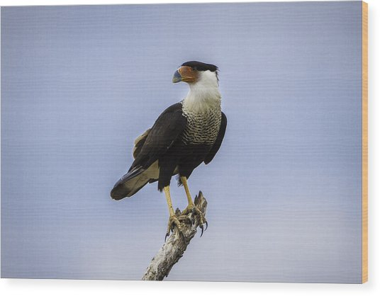 Crested Caracara Wood Print
