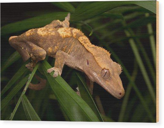 Crested Gecko Rhacodactylus Ciliatus Wood Print