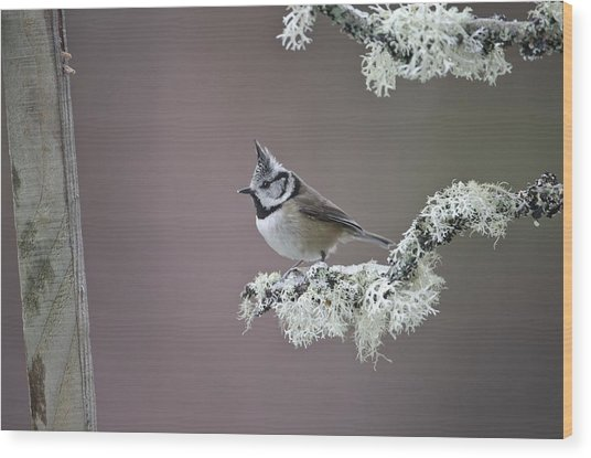 Crested Tit Wood Print by Science Photo Library