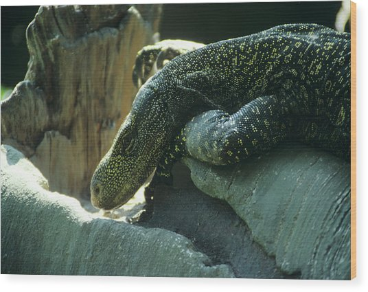 Crocodile Monitor Lizard Wood Print by Sally Mccrae Kuyper/science Photo Library