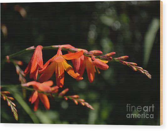 Crocosmia 'dusky Maiden' Flowers Wood Print
